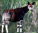 Animales Hibridos, Datos, imagenes...